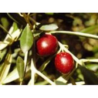 Huile d'olive Grossane