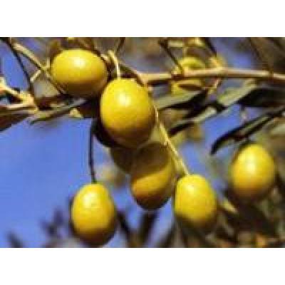 Olive oil Salonenque