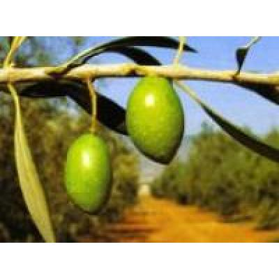 Olivenöl Picholine