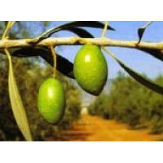 Olive oil Picholine