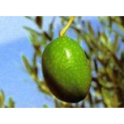 Olivenöl Verdale des Bouches-du-Rhône