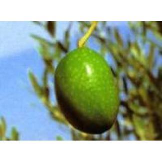 Huile d'olive Verdale des Bouches-du-Rhône