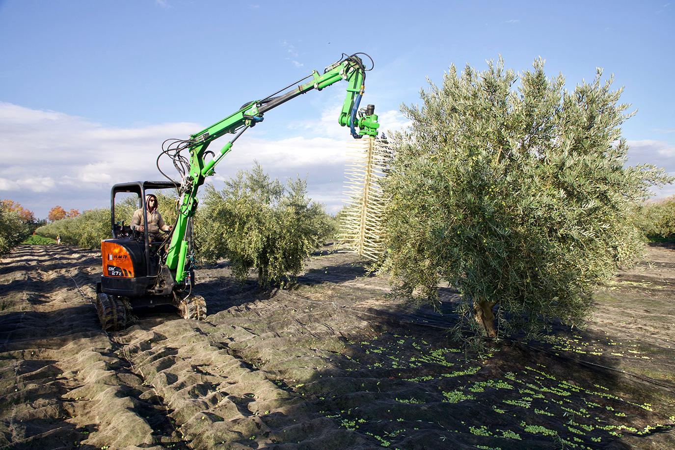 Récolte olives 2021